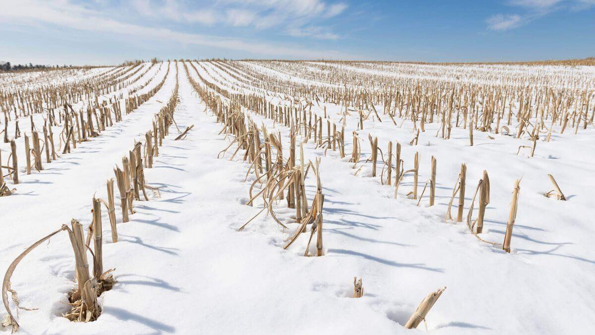 Frozen winter corn field